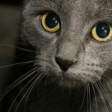 灰猫の猫画像