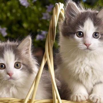 灰白猫カゴの猫画像