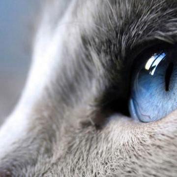 灰猫瞳の猫画像