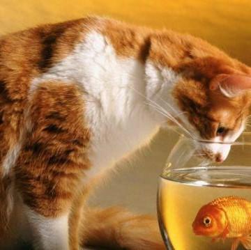 茶トラ白猫金魚の猫画像