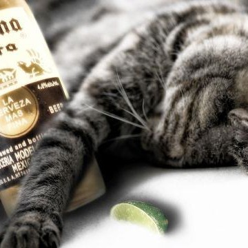 キジトラ猫ビールの猫画像