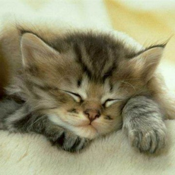 キジトラ猫子猫毛布の猫画像