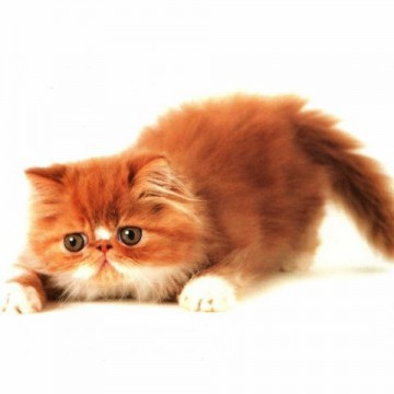 茶トラ猫子猫の猫画像
