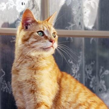 茶トラ猫カーテンの猫画像