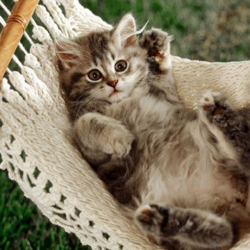 キジトラ猫子猫ハンモックの猫画像