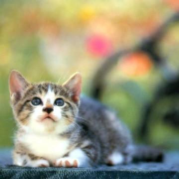 キジトラ白猫子猫屋外の猫画像