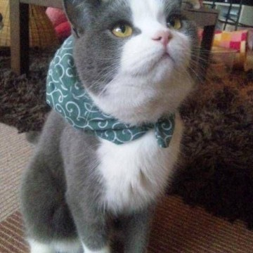 灰白猫泥棒の猫画像