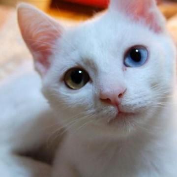 白猫マッドアイの猫画像