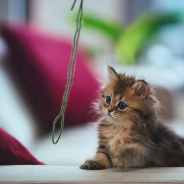 キジトラ猫子猫紐の猫画像