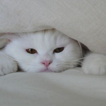 白猫布団の猫画像