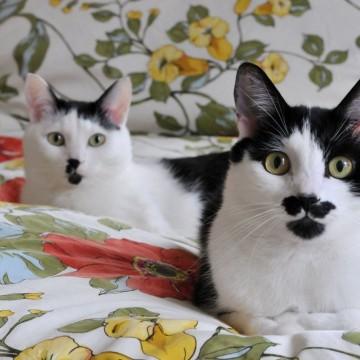 黒白猫ハチワレ猫布団の猫画像