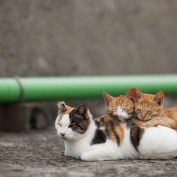 三毛猫茶トラ白猫茶トラ猫昼寝の猫画像