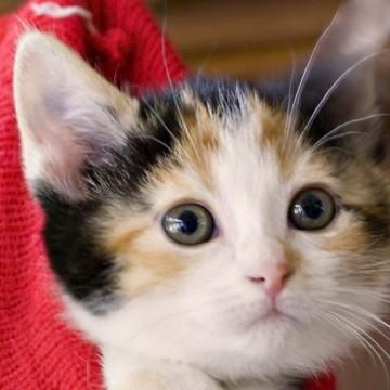 三毛猫子猫袋の猫画像