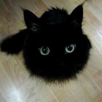 黒猫子猫フローリングの猫画像