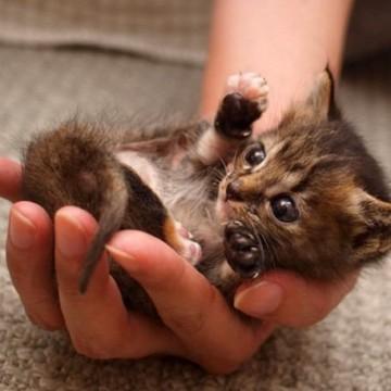 キジトラ猫子猫手の猫画像