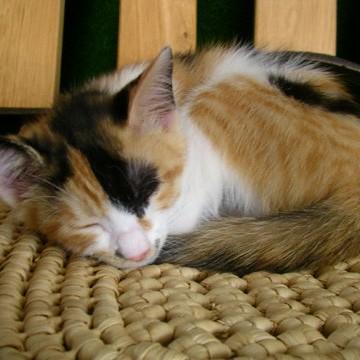 三毛猫屋内の猫画像