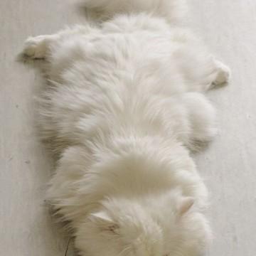 白猫昼寝の猫画像