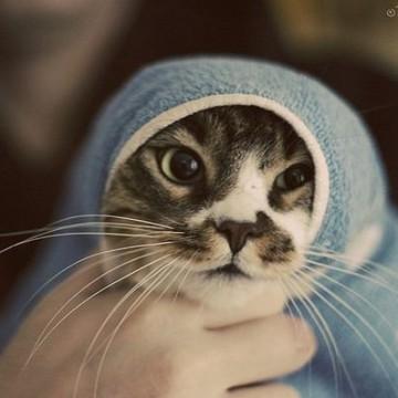 キジトラ白猫タオルの猫画像