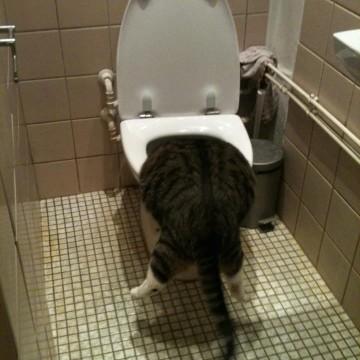 キジトラ白猫トイレの猫画像