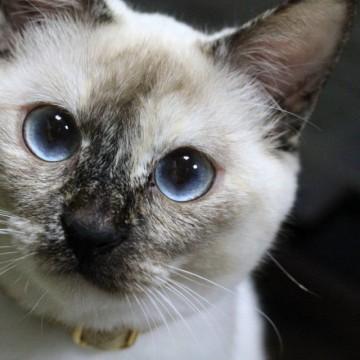 ポインテッド猫屋内の猫画像