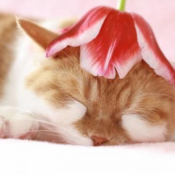 ハチワレ猫昼寝花の猫画像