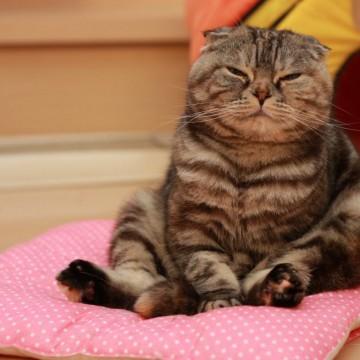 キジトラ猫座布団の猫画像