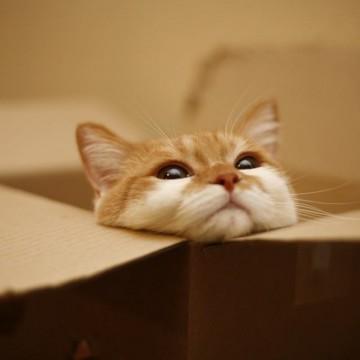 茶トラ白猫子猫ダンボールの猫画像