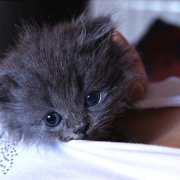 灰猫子猫服の猫画像