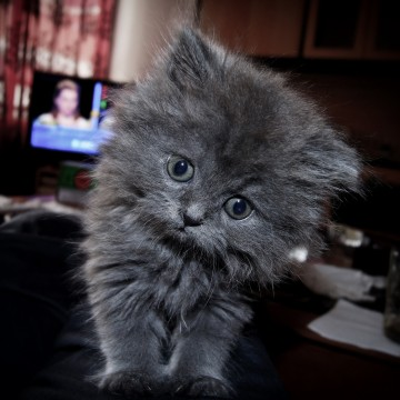 灰猫子猫屋内の猫画像