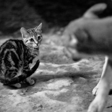 キジトラ猫犬の猫画像