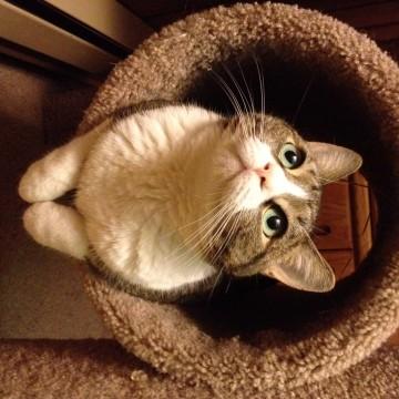 キジトラ白猫キャットタワーの猫画像