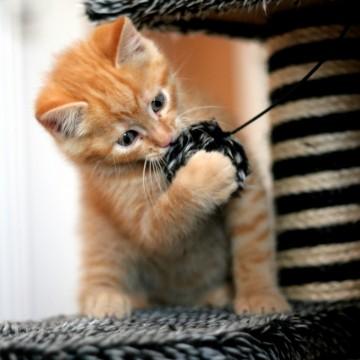 茶トラ猫子猫キャットタワーの猫画像