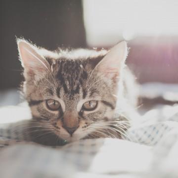 キジトラ猫子猫布団の猫画像
