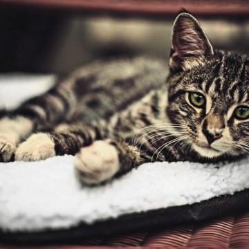 キジトラ猫子猫座布団の猫画像