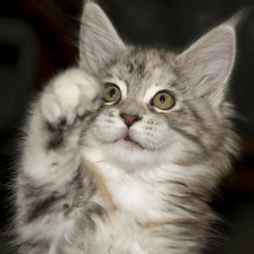 サバトラ白猫子猫の猫画像