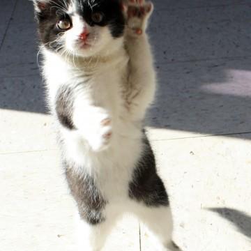 ハチワレ猫子猫屋外の猫画像