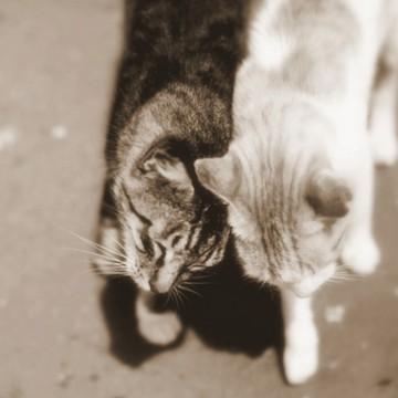 キジトラ猫茶トラ猫の猫画像