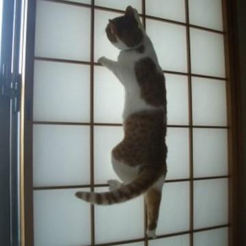 茶トラ白猫障子の猫画像