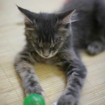 サバトラ猫子猫昼寝の猫画像