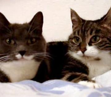 黒白猫キジトラ猫布団の猫画像