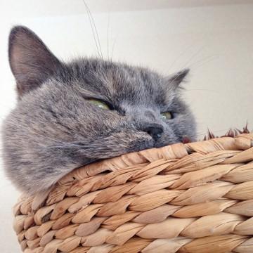 灰猫カゴの猫画像