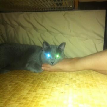 灰猫目こたつの猫画像