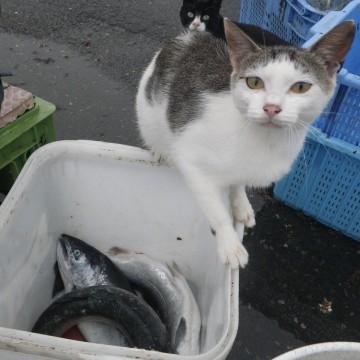 灰白猫魚の猫画像