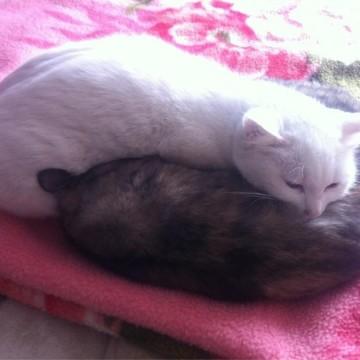 白猫サビ猫昼寝の猫画像
