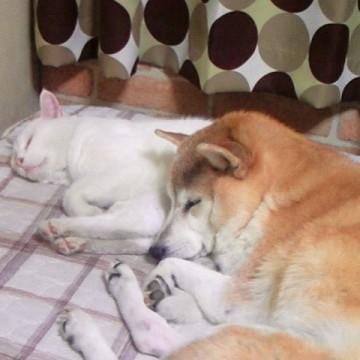 白猫犬昼寝の猫画像