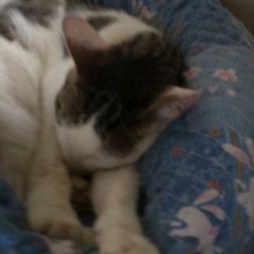 サビトラ白猫昼寝の猫画像
