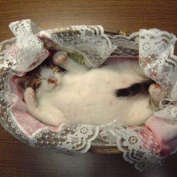 キジトラ白猫子猫昼寝カゴの猫画像
