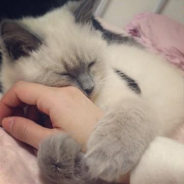 ポインテッド猫昼寝手の猫画像