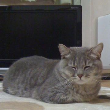 灰猫昼寝屋内の猫画像