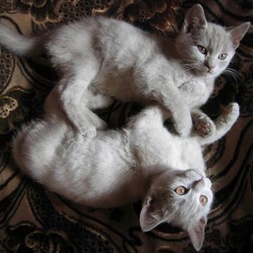 灰猫子猫カーペットの猫画像